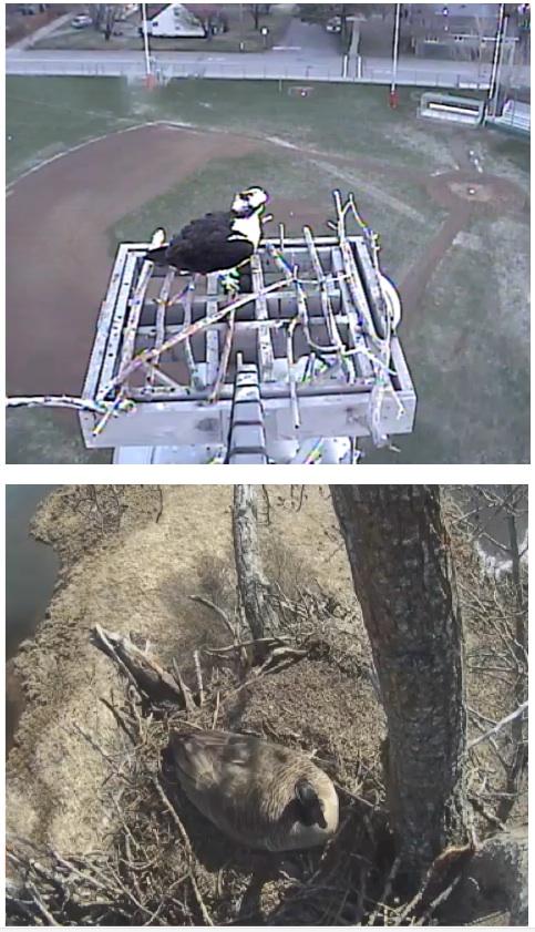 Osprey and 'geegle' cams